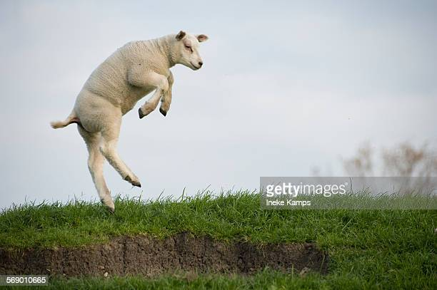 dancing lamb - sheep stock pictures, royalty-free photos & images