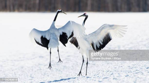 dancing partners - japanese crane stock pictures, royalty-free photos & images