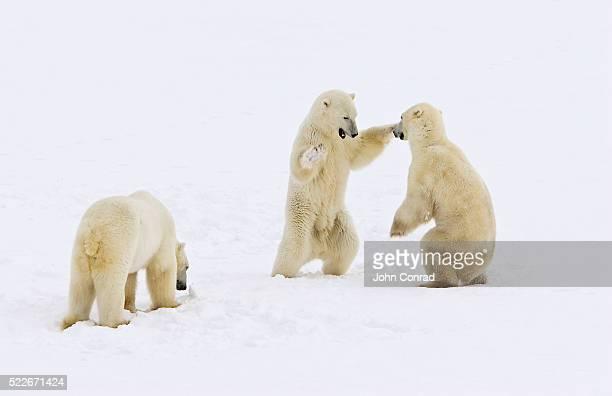 dancing polar bears - dancing bear photos et images de collection