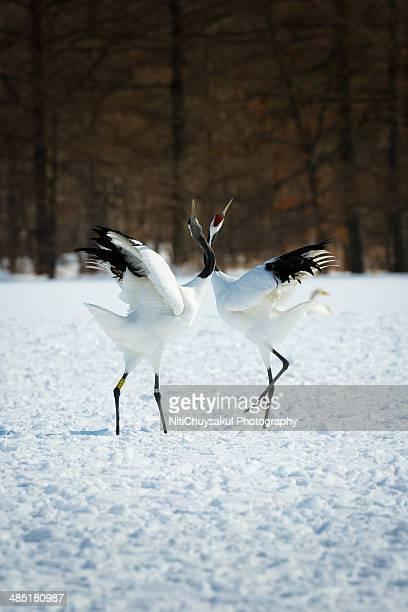 Dancing red crown cranes