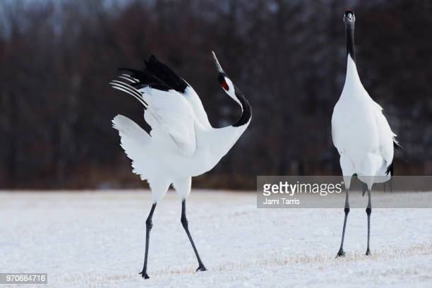 dancing red-crowned cranes performing a duet to enhance the bond between the pair - japanese crane stock pictures, royalty-free photos & images