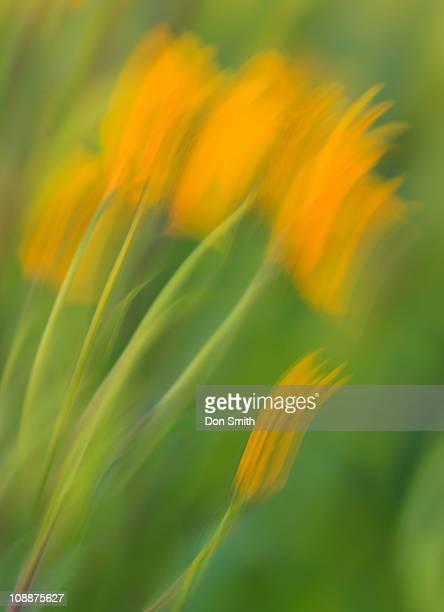 dancing sunflowers - don smith imagens e fotografias de stock