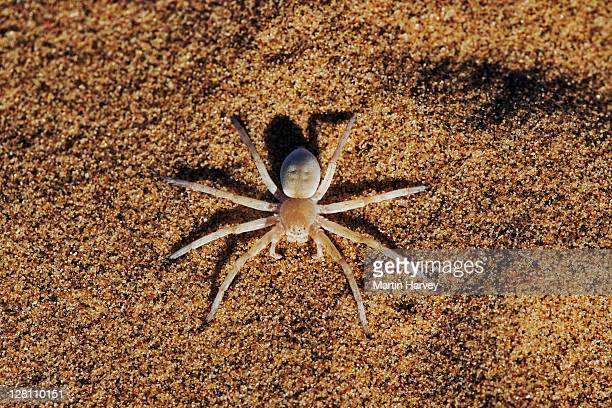 dancing white lady spider, leucorchestris arenicola. these spiders are well known for their wandering nature. after wandering for up to 90m from the nest across open, featureless dunes of the namib desert, they will return in a more direct path. namibia. - huntsman spider stock pictures, royalty-free photos & images