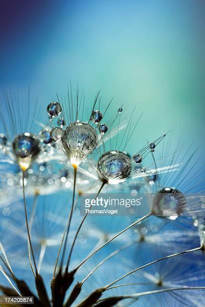 Dandelion and Dew - Blue Nature Macro