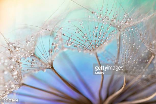 dandelion and dew drops - dew stock pictures, royalty-free photos & images