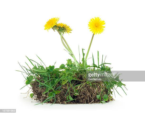 dandelion and dirt isolated - weed stock photos and pictures