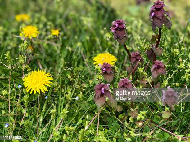 dandelion and purple dead nettle - イラクサ ストックフォトと画像