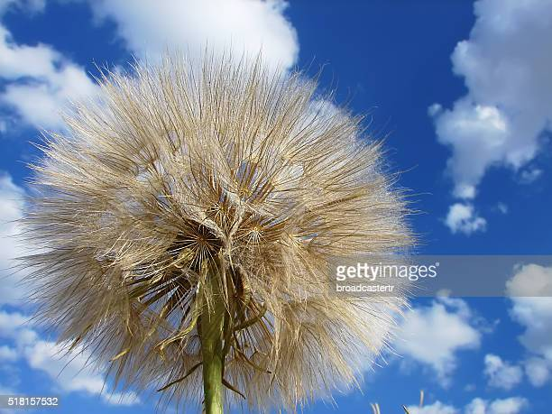 Dandelion and sky with clouds