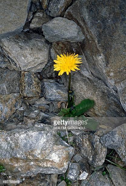 Dandelion Asteraceae