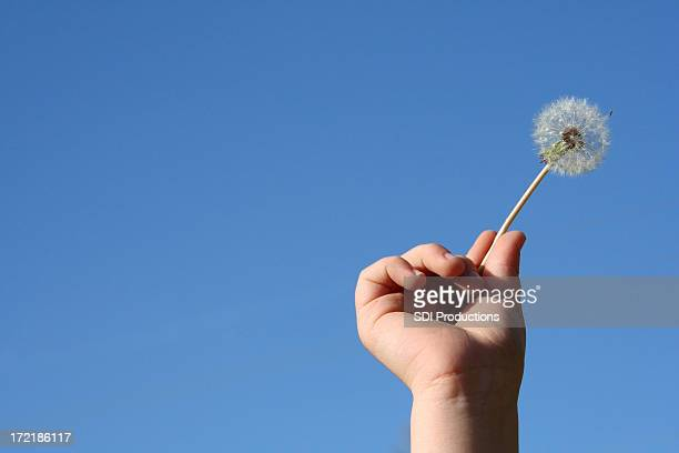 Dandelion Being Held Up By A Boy's Hand