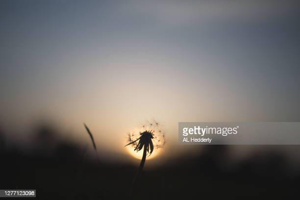 dandelion clock at sunset - season stock pictures, royalty-free photos & images