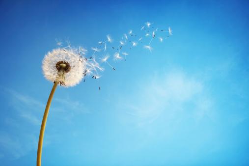 Dandelion clock dispersing seed 488830487