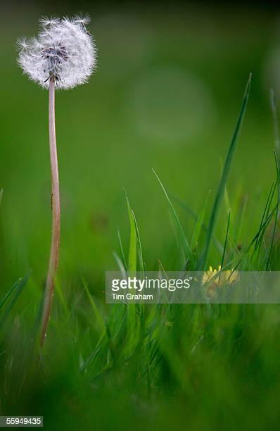 Dandelion clock dispersing seeds, England.