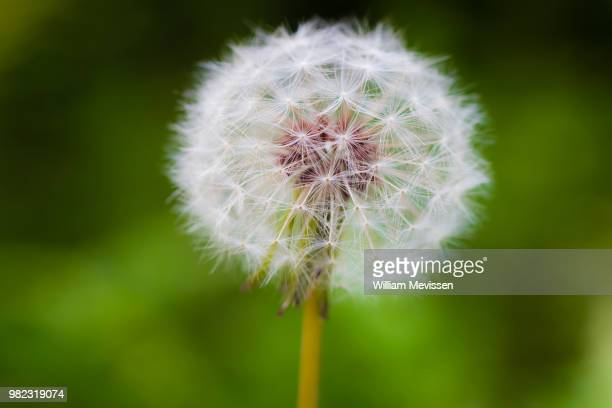 dandelion 'clock' - william mevissen stockfoto's en -beelden