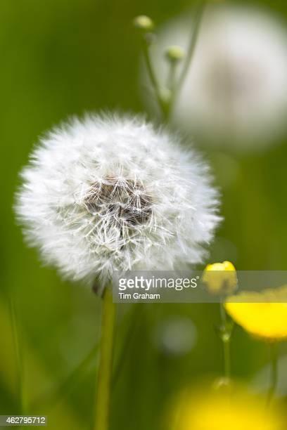 Dandelion clock ripe seed head ready for seed dispersal in summertime UK