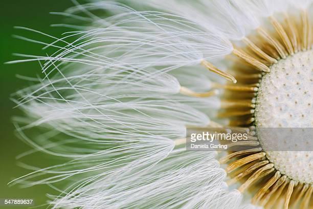 dandelion close-up - extreme nahaufnahme stock-fotos und bilder