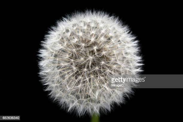dandelion close-up view - manufactured object stock pictures, royalty-free photos & images