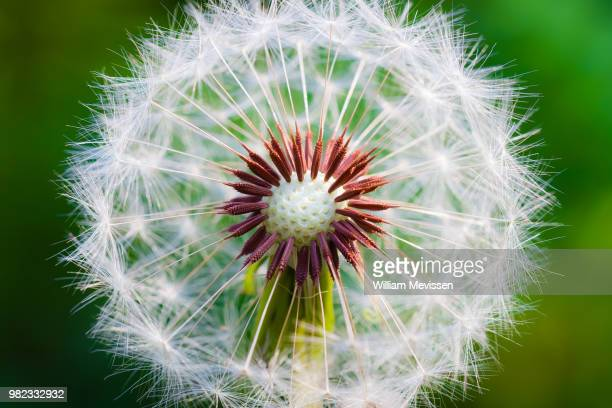 dandelion 'core' - william mevissen stock pictures, royalty-free photos & images