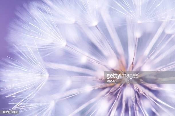 dandelion detail - dandelion leaf stock pictures, royalty-free photos & images