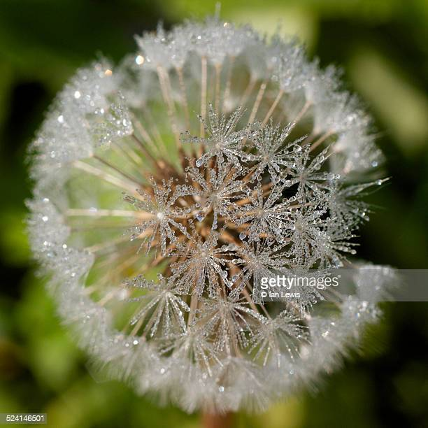 dandelion dew - グイチアン ストックフォトと画像