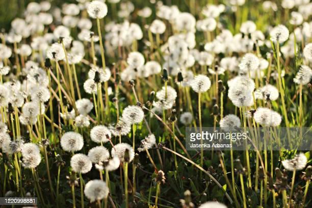dandelion dream - april stock pictures, royalty-free photos & images