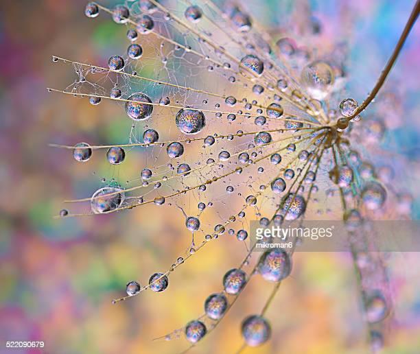 Dandelion & droplets