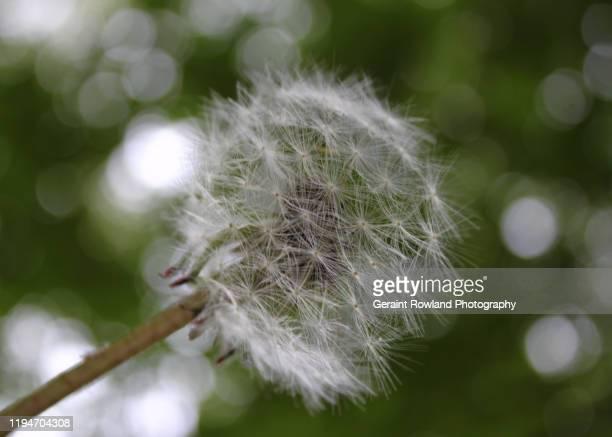 dandelion, england - feuille de pissenlit photos et images de collection