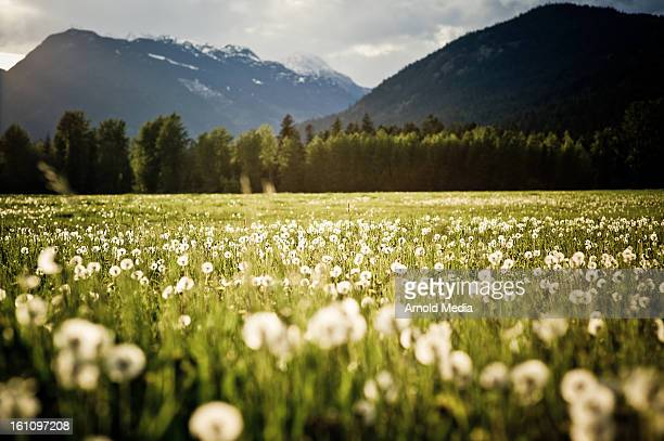 dandelion field - vancouver canada stock pictures, royalty-free photos & images