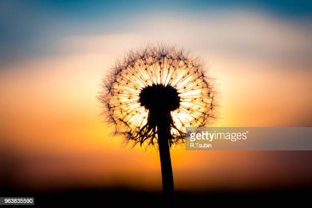 dandelion flower fused with sunset looking like a bulb - dandelion leaf stock pictures, royalty-free photos & images