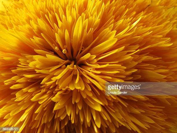 dandelion flower head - makrofotografie stock-fotos und bilder