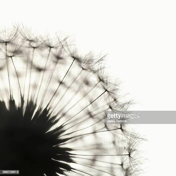 Dandelion flower in silhouette