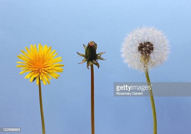 Dandelion flower, seed head and clock, blue sky.