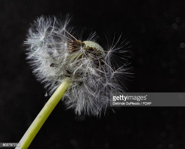 Dandelion flower with black background