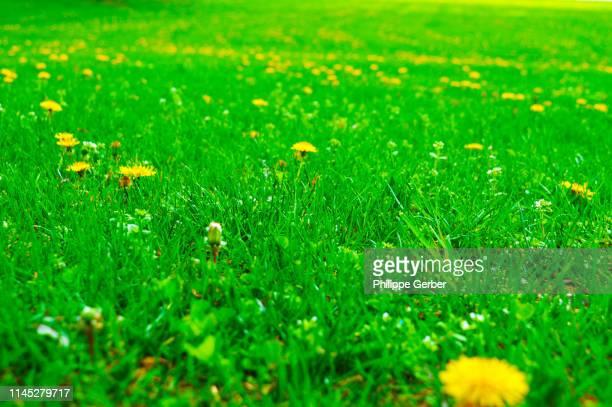 dandelion flowers in green meadow - niet gecultiveerd stockfoto's en -beelden