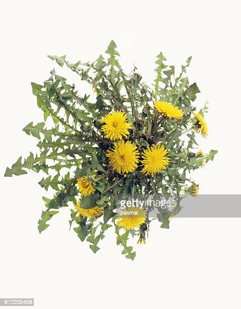 dandelion flowers - uncultivated stock pictures, royalty-free photos & images
