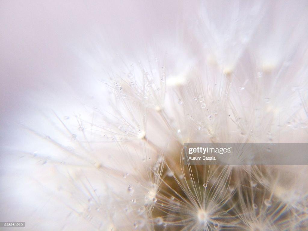 Dandelion fluff : Stock Photo