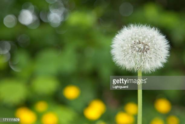 Dandelion Fluffiness