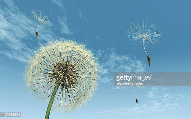 Dandelion gone to seed, some seeds fly away