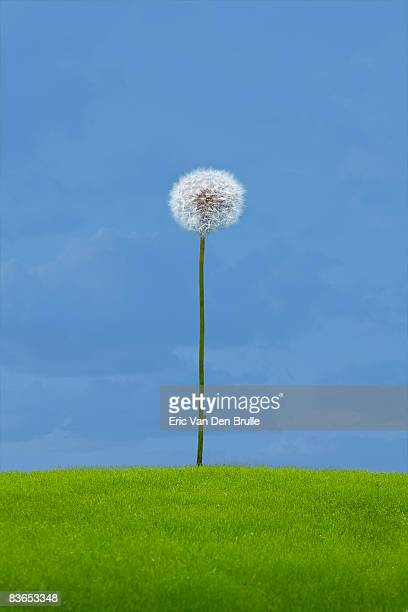 dandelion, green grass and sky - eric van den brulle stock pictures, royalty-free photos & images