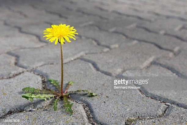dandelion growing between paving stones - niet gecultiveerd stockfoto's en -beelden