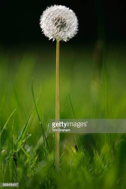 Dandelion growing, England.