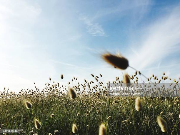 dandelion growing in field - ouistreham stock pictures, royalty-free photos & images