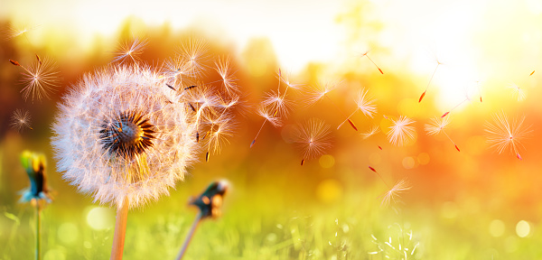 Dandelion In Field At Sunset - air And Blowing 1137402783