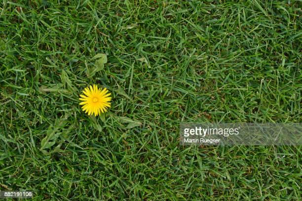 dandelion (taraxacum officinale) in meadow. - wiese stock-fotos und bilder