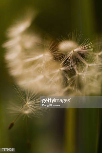 dandelion (taraxacum sp) in seed - feuille de pissenlit photos et images de collection