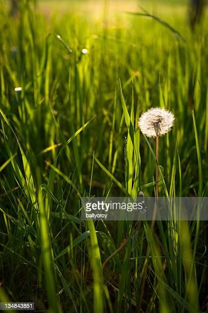 Dandelion in Tall Grass