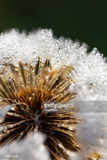 dandelion in the morning dew - botany stock pictures, royalty-free photos & images