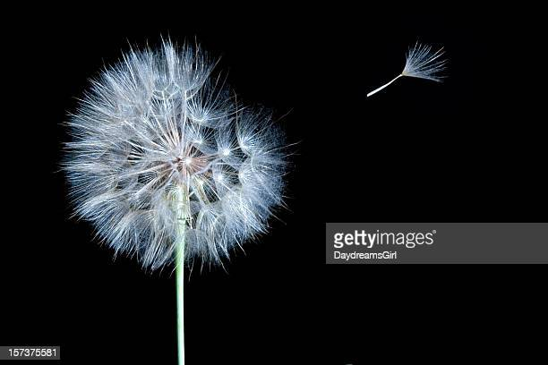 Dandelion Isolated on Black with Wind Blowing One Seed Away