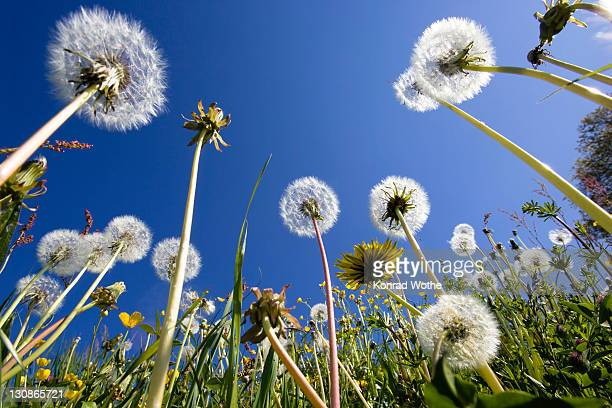 Dandelion meadow (Taraxacum officinale), Upper Bavaria, Germany