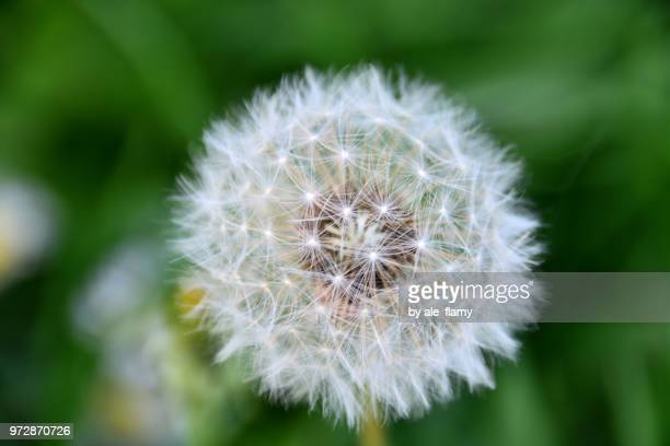 Dandelion on greed background